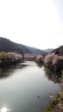 ダム沿いの桜.JPG