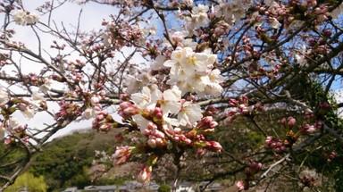 玉川の桜.jpg