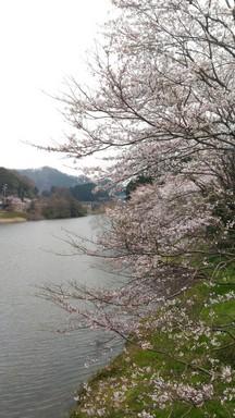 玉川ダム_桜.jpg
