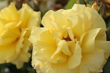 黄色バラ.jpg